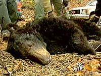 TRACKING W.Va. BEARS